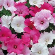 Lavatera Trimestris mix 300 seeds